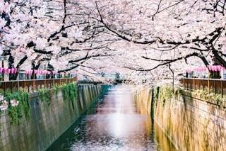 目黒川の桜.jpg